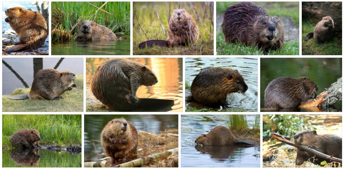 Meaning of Beaver in English